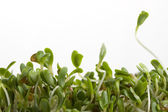 Alfalfa sprouts on white — Stock Photo