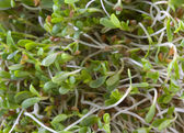 Alfalfa sprouts background — Stock Photo