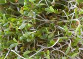 Kiełki lucerny tło — Zdjęcie stockowe