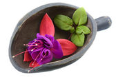 Fuchsia flower in a wooden scoop — Stock Photo