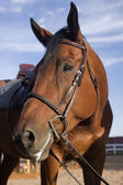 Bay horse portrait after jump training — Stock Photo