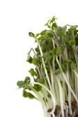 Broccoli sprouts growing — Stock Photo
