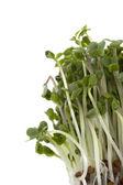 Brotos de brócolis crescendo — Foto Stock