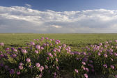 Wildflowers and short grass prairie — Stock Photo