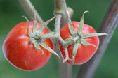 Small tomatoes — Stock Photo