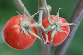 Small tomatoes — Stock Photo