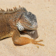 Iguana - Stock fotografie