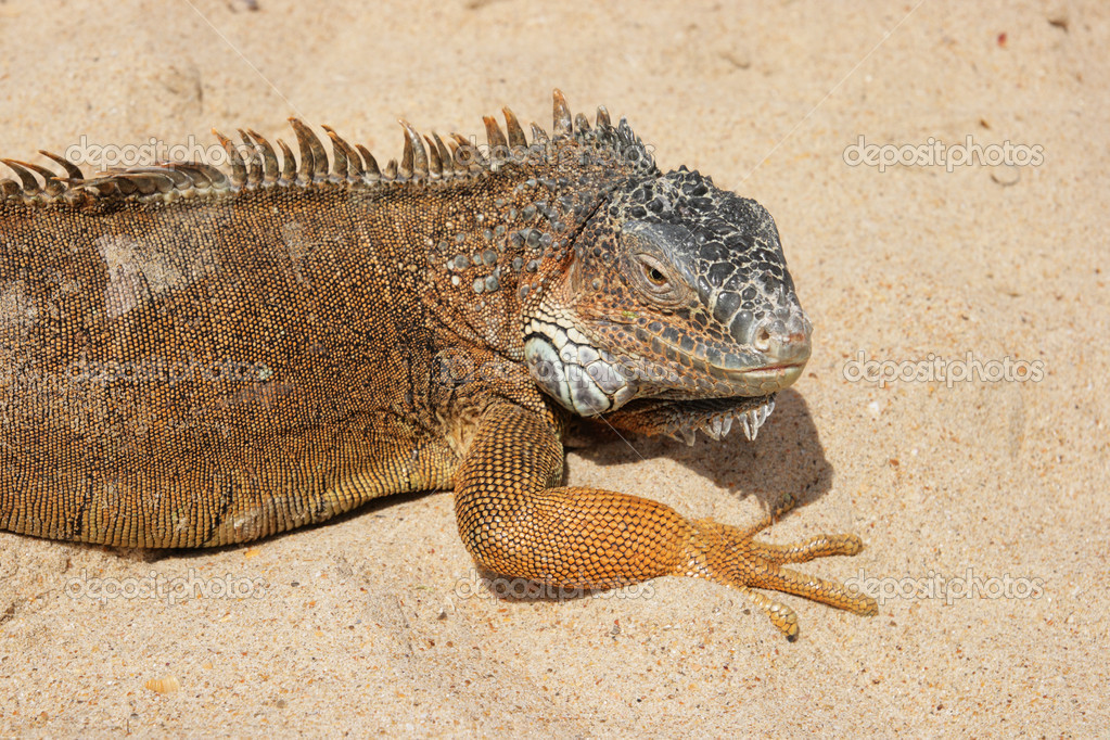 Portrait of a Iguana on a sandy background — Stock Photo #2052524