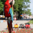 Parrot — Stock Photo #2060321