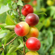 Ripening plums - Stock Photo