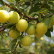 Yellow ripe plum — Stock Photo