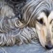 Afghan dog — Stock Photo #2302082
