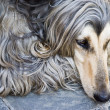 Afghdog — Stock Photo #2302082