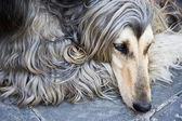 Afghan dog — Stock Photo