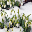 Stock Photo: Snowdrops in spring