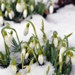 Постер, плакат: Snowdrops in spring