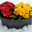 Spring flowers in snow — Stock Photo