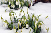 Snowdrops in spring — Stock Photo