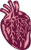 Anatomy of the human heart — Stock Photo