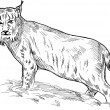 Eurasian lynx drawing — Stock Photo