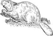 European beaver drawing — Stock Photo