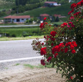 Red flowers on the road — Stock Photo