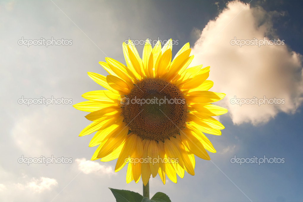 Solitary sunflower over a blue cloudy sky — Stock Photo #2050915