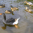Mother Goose — Stock Photo #2202714