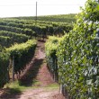 Vines — Stock Photo #2620962