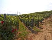Viñas — Foto de Stock