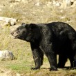 Black Bear — Foto de Stock