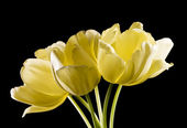 Bunch of yellow tulips on black — Stock Photo