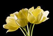 Bunch of yellow tulips on black — Stock Photo