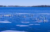White seagulls on blue lake with ice — Stock Photo