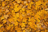 Colored fall leaves on the ground — Stock Photo