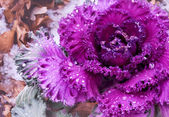 Decorative purple cabbage — Stock Photo