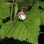 Nursery web spider — Stock Photo