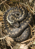 Adder wound into a ball — Foto Stock