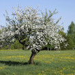 Stock Photo: Old apple tree