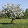 Old apple tree — Stock Photo