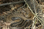 Two adders — Stock Photo