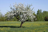 Old apple tree — Stock Photo