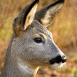 Roe deer — Stockfoto #2151063