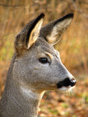 Roe deer — Photo