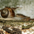 Edible snail — Stock Photo #2187492