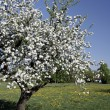 Old apple tree — Stock Photo #2188256