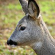Roe deer — Stock Photo #2188850