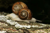Two edible snails — Stock Photo