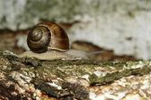 Edible snail — Stock Photo