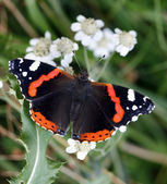 Red Admiral — Stock Photo